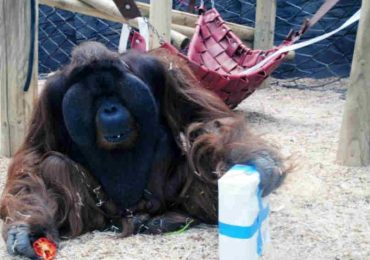 Mom-to-Be Visits The Zoo. Watch What The Orangutan Does When He Sees Her Belly