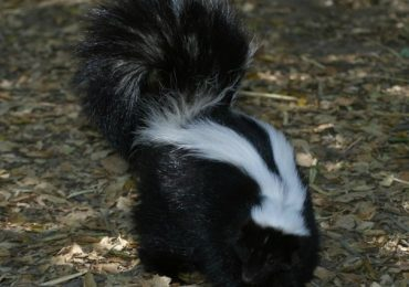 Skunk Got His Head Stuck On Empty Yogurt Container And Cop Comes To His Rescue
