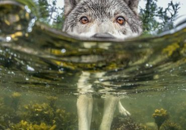 Meet The Swimming Wolves That Fish For A Living