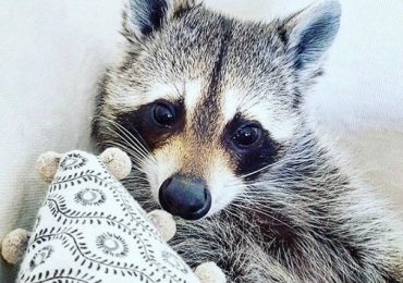 Adorable Rescued Raccoon Thinks She's Part Of A Dog Pack