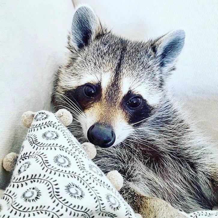 Adorable Rescued Raccoon Thinks Shes Part Of A Dog Pack Ray Of Joy - Pumpkin rescued raccoon
