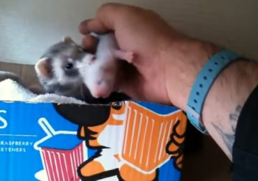 This Video Of A Ferret Mom Showing Off Her Babies To Her Human Will Melt Your Heart